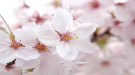 fiori_di_ciliegio_rosa_milano